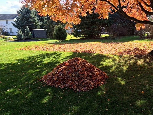 Pile of leaves in lawn ready for pick up
